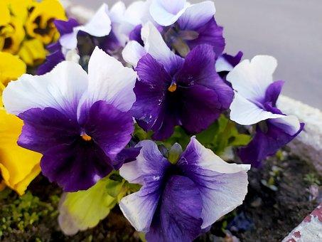 Flowers, Pansies, Petals, Plants, Violet, Flora