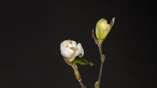 Magnolia, Buds, Plant, Flowers, Magnolia Blossom