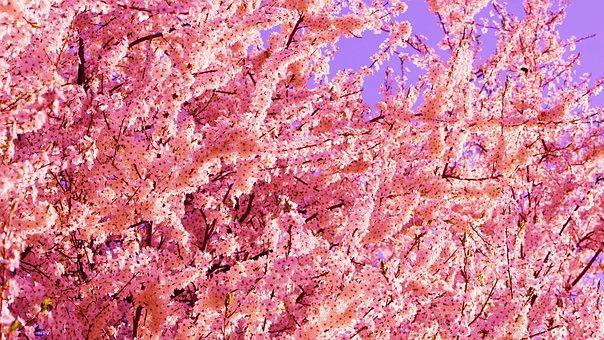 Flowers, Petals, Tree, Flowering, Fruit, Twigs, Park