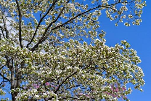 Tree, White, Blue, Green, Spring, Sky, Sunny, Japan