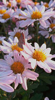 Chamomile, Butterfly, Daisy, Insect, Flower, Flowers