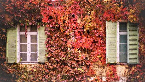 Autumn, Wild Grapes, Landscape, Nature, Windows, Red