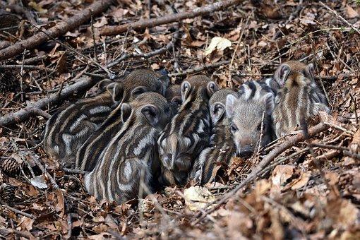 Wild, Piglets, Animals, Mammals, Wild Boars, Small, Sow