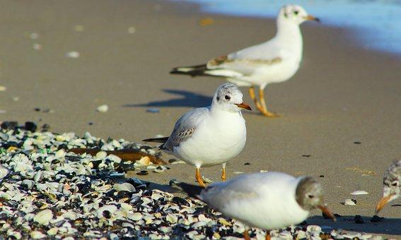 Birds, Seagulls, Sand, Beach, Shells, Marine, Feathers