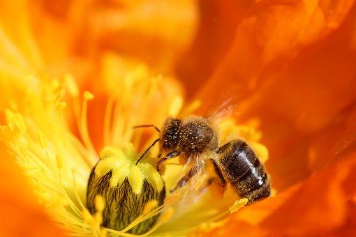 Poppy, Bee, Shrub, Orange, Meadow, Close Up