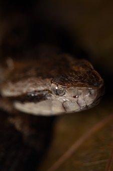 Bothrops, Fer-de-lance, Atrox, Snake, Pit Viper