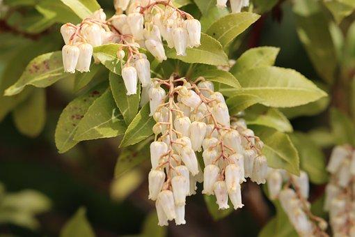 Bell Shrub, Flowers, Bells, Nature, Spring, Plant