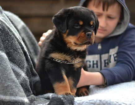 Rottweiler, Dog, Puppy, Pet, Black Dog, Animal