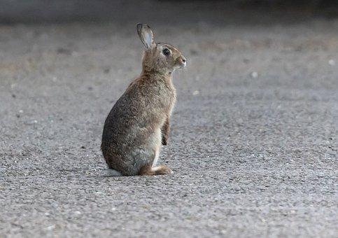 Rabbit, Wild, Brown Rabbit, Bunny, Wildlife, Cute