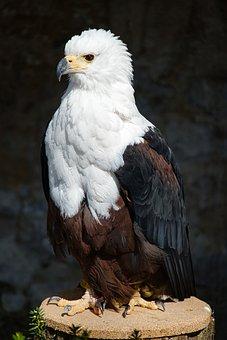 Bald Eagle, Wild Animal, Raptor, Falconry