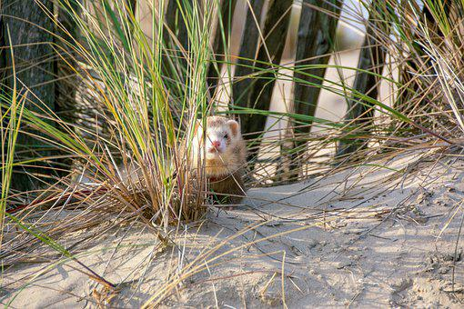 Ferret, Beach, Sand, Dunkirk, Dunes, Oyats, North