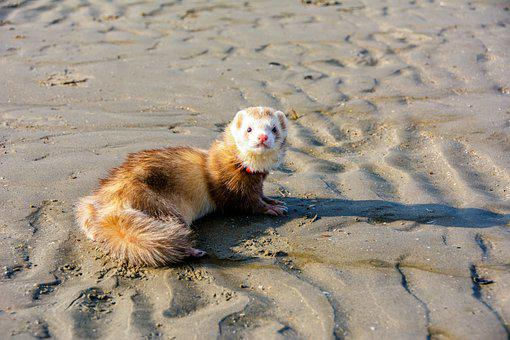 Ferret, Beach, Sand, Dunkirk, Dunes, North