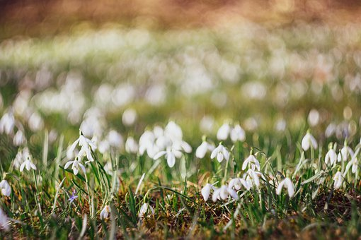 Snowdrops, Grass, Snowdrop, Easter, Spring, Close Up