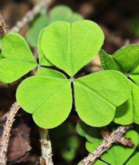 Four Leaf Clover, Forest, Green, Three, Sorrel