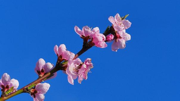 Peach, Flowers, Spring, Tree, Pink, Flower, Nature