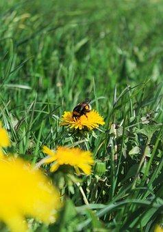 Dandelion, Flower, Yellow, Meadow, Sun, Sunny Day