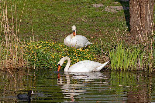 Mute Swan, Cygnus Cygnus, Swan, Bird, Swimming
