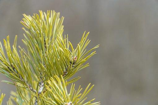 Pine, Leaves, Tree, Needles, Foliage, Branch, Conifer
