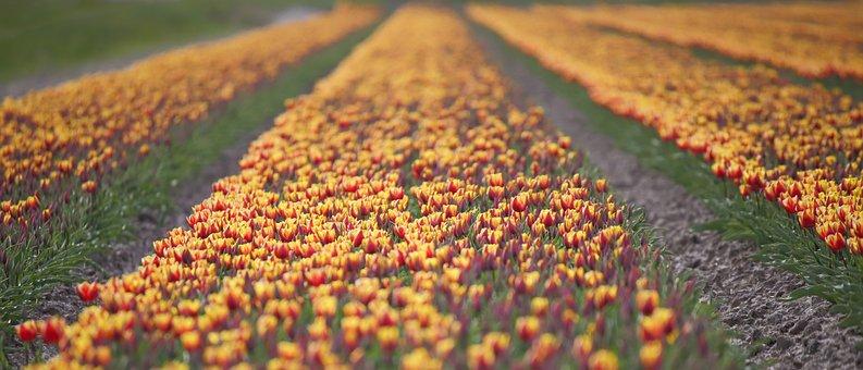 Tulips, Orange, Holland