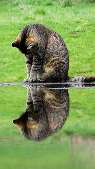 Cat, Kitten, Animals, Water, Mirroring, Domestic Cat
