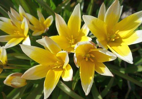 Tulips, Flowers, Plants, Late Tulips, Yellow Flowers