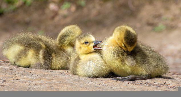 Chicks, Geese, Goslings, Birds, Young, Babies