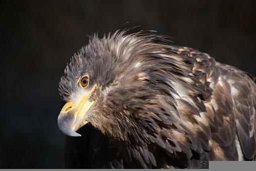 Golden Eagle, Portrait, Animal World, Feather, Adler