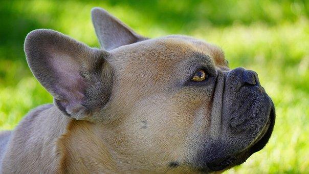 Dog, French Bulldog, Background Green, Rush, Meadow