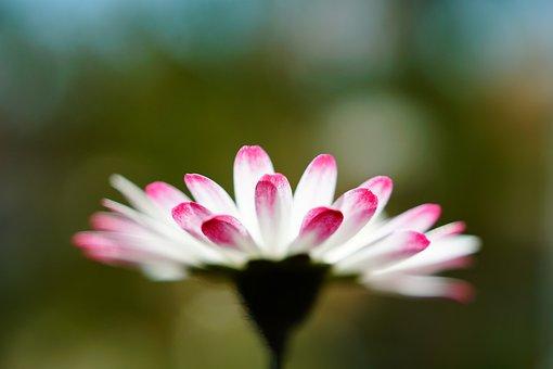 Flower, Petals, Daisy, Plant, Spring, Blossom, Bloom
