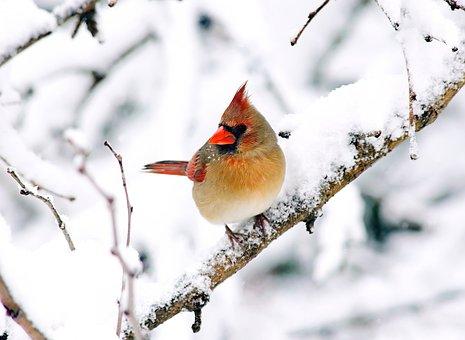 Bird, Cardinal, Red, Nature, Wildlife, Snow, Winter