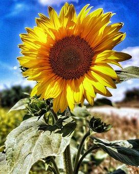 Sunflower, Flower, Bloom, Blossom, Nature, Yellow