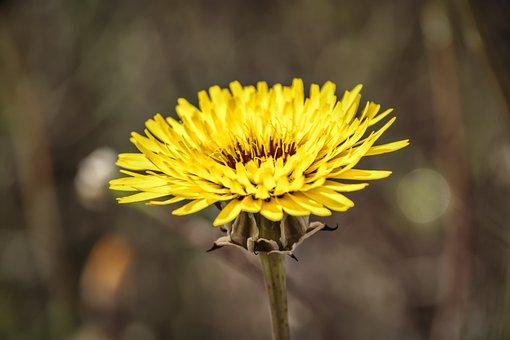 Dandelion, Flower, Plant, Yellow Flower, Petals, Bloom