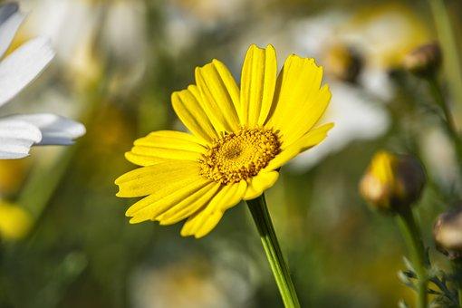 Daisy, Flower, Plant, Yellow Flower, Petals, Bloom