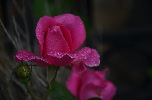 Rose, Flower, Dew, Wet, Dewdrops, Raindrops, Petals