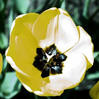 Flower, Tulip, Bouquet, Nature, Spring, Bloom, Fresh