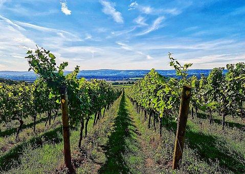 Vineyard, Wine, Grapes, Winery, Vine, Vines, Grapevine