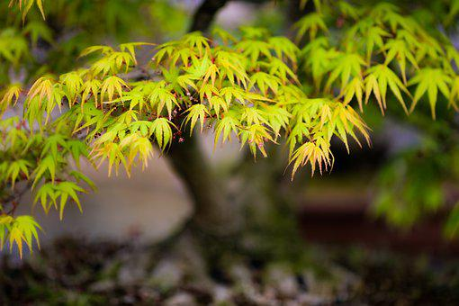 Maple, Leaves, Foliage, Bonsai, Japanese Maple, Spring
