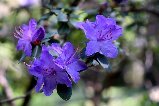 Rhododendron, Blue, Flowers, Petals, Blue Flowers