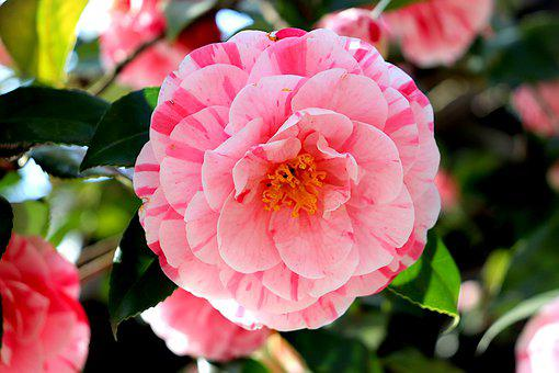 Camelia, Flower, Pink, Petals, Flora, Pink Flower