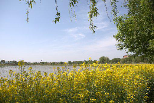 Rape Flowers, Bank, River, Flowers, Plants, Rapeseed