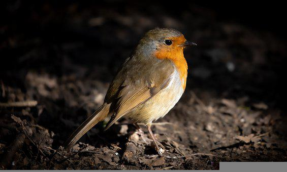 Bird, Robin, Branch, Perched, Robin Redbreast