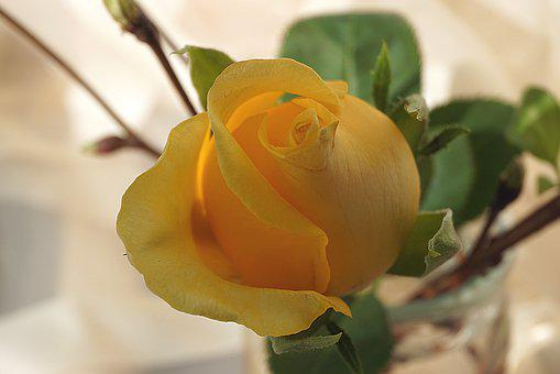 Yellow Rose, Rose, Flower, The Petals, Yellow Flower