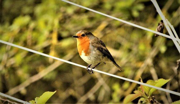 Robin, Robin Redbreast, Bird, Wildlife, Nature, Animal
