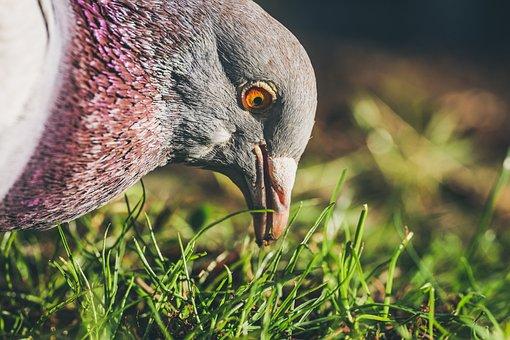 Pigeon, Bird, Animal, Nature, Feathers, Beak