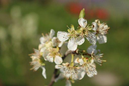 Apple Tree, Blossom, Bloom, Apple Blossom, Spring