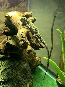 Bearded Dragon, Pets, Spikes, Spiked, Australian