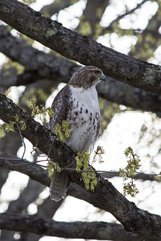 Hawk, Bird, Branches, Perched, Perched Bird, Ave, Avian