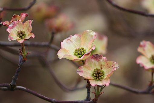 Dogwood, Flowers, Branch, Tree, Cornus