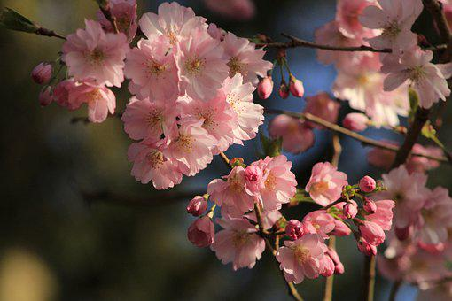 Pink Flowers, Cherry Blossoms, Flowers, Blossom, Bloom