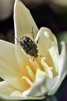 Cockchafer, Bug, Flower, Beetle, Insect, Pistil, Stamen